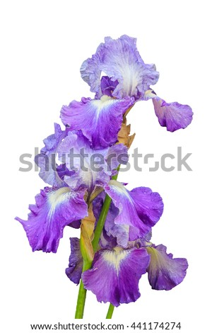White and purple Rondo bearded iris flower in bloom, isolated background - stock photo