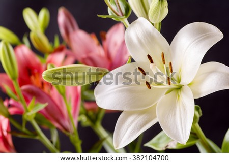 White and red asian lily flower in front of black background