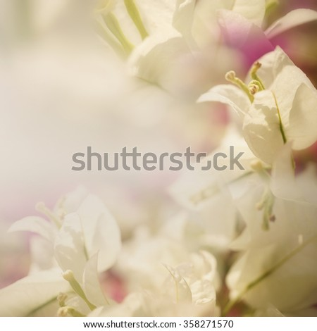 white and red bougainvillea flower in blur style