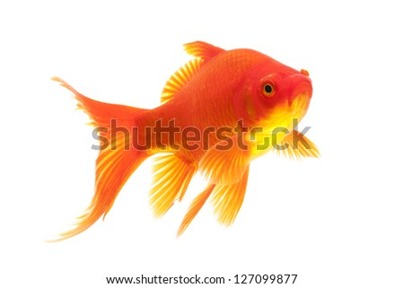 White and red goldfish isolated on white background.