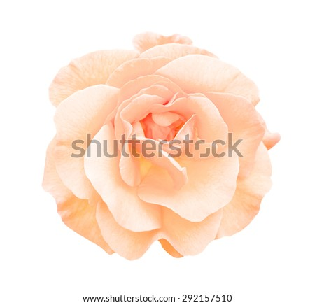 White and rose rose flower macro isolated on white - stock photo