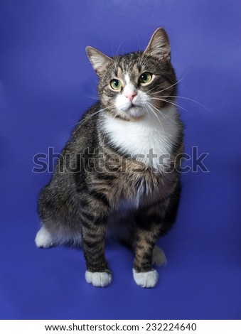 White and striped spotted cat sitting on blue background - stock photo