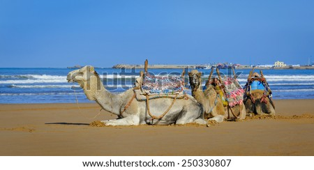 White and two brown dromedary resting  in the morning on the sandy beach of Essaouira, Morocco