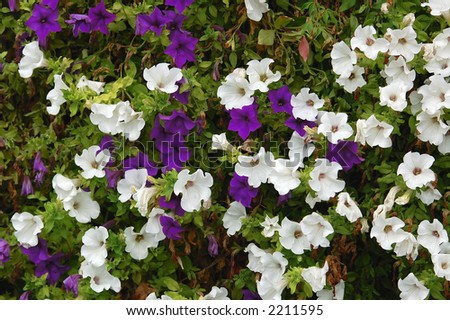 white and violet bindweed - stock photo
