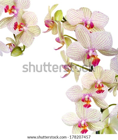 White and violet orchid over white background