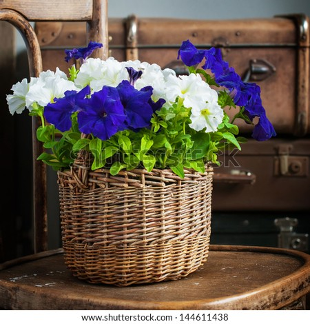 White and Violet Petunia flowers in a wattled basket - stock photo