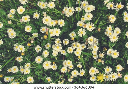 White and yellow chamomile flowers on green grass, shot from directly above. Image filtered in faded, retro, Instagram style; nostalgic, vintage spring concept. Floral texture. - stock photo