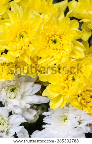 white and yellow chrysanthemums - stock photo