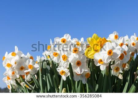 White and yellow daffodils frame the bottom of a bright blue sky background. - stock photo