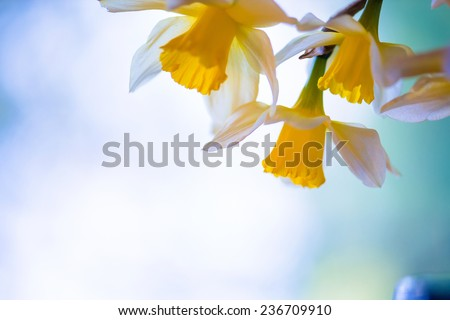 White and yellow easter lilly on light background, back-light - stock photo