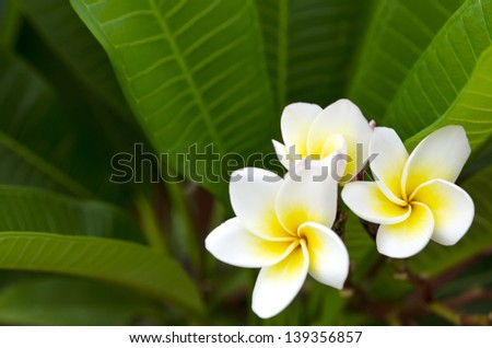 White and Yellow  flower in thailand name is Pagoda tree
