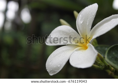 White and yellow flowers on a tree after rain.