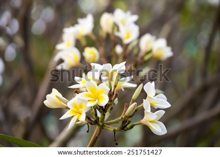 white and yellow frangipani flowers with branch in background