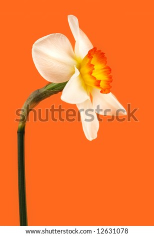 white and yellow Jonquil flower on orange background