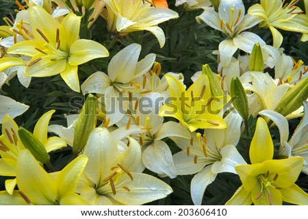 White and yellow lilies after rain on garden. - stock photo