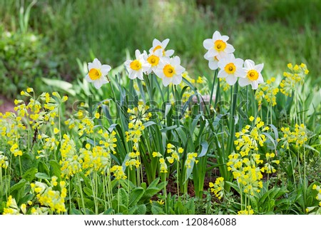 White and yellow narcissus on landscaping design flower bed - stock photo