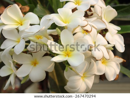white and yellow Plumeria on natural background. - stock photo