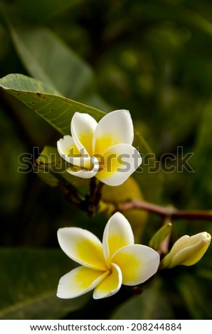 white and yellow Plumeria spp. (frangipani flowers, Frangipani, Pagoda tree or Temple tree) - stock photo