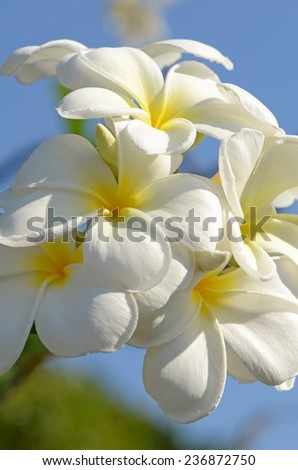 White and yellow Plumeria spp. (frangipani flowers, Frangipani, Pagoda tree or Temple tree) on bright sunlight and blue sky. - stock photo