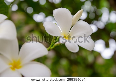 white and yellow Plumeria spp. (frangipani flowers, Frangipani, Pagoda tree or Temple tree) on natural light background - stock photo