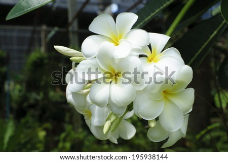 white and yellow Plumeria spp. (frangipani flowers, Frangipani, Pagoda tree or Temple tree) with rain drops on natural background. - stock photo