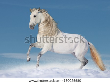 White andalusian horse in paddock - stock photo