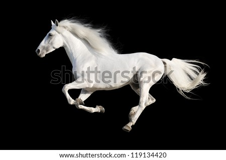 White Andalusian horse isolated on the black - stock photo