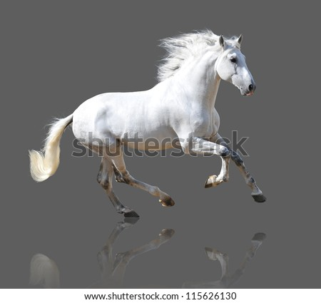 White Andalusian horse isolated on the gray - stock photo