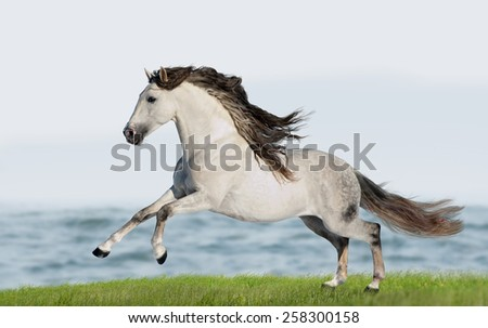 White Andalusian horse (Pura Raza Espanola) runs gallop in summer time