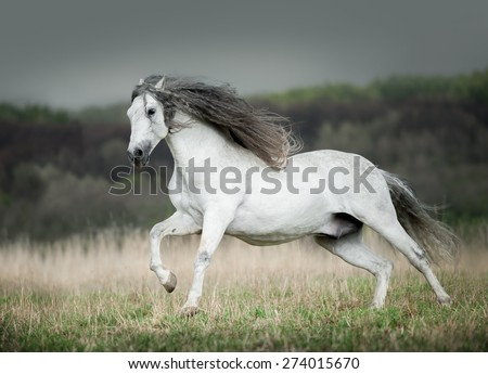 white andalusian horse runs free in summer