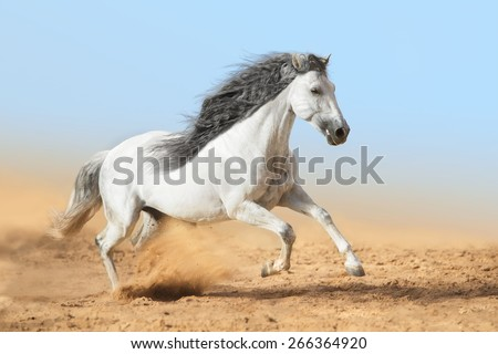 White Andalusian horse runs in dust