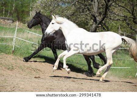 White andalusian horse with black friesian horse in spring