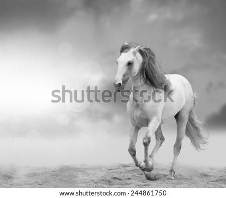 white andalusian stallion - stock photo