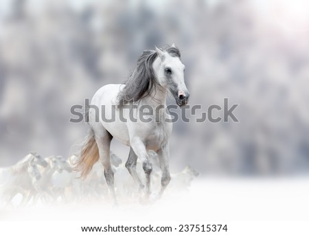 white andalusian stallion in winter with herd - stock photo