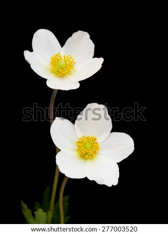 White anemone flowers on a black background - stock photo