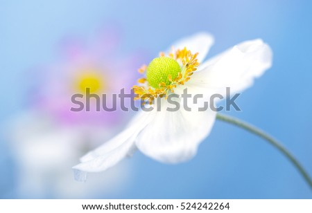 White anemone petals on blue background