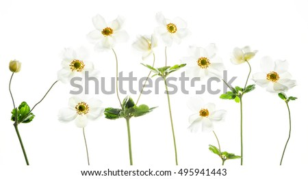 White anemones on white background