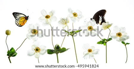 White anemones on white background with colorful butterfly