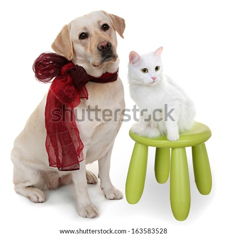 White Angora cat and dog of breed Labrador the Retriever. A close up, isolated on a white background.