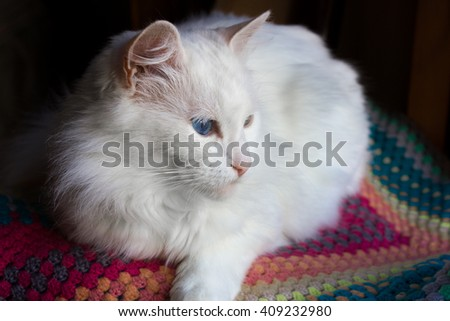 White angora cat lying on the knit colorful plaid. Selective focus. With shallow depth of field.  - stock photo