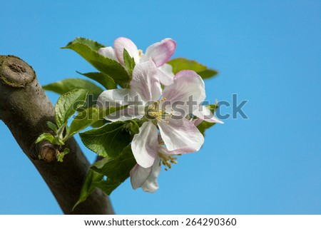 White apple flowers branch - stock photo
