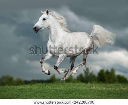 white arab horse runs gallop in summer time - stock photo