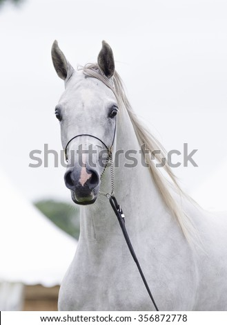 White arabian horse.