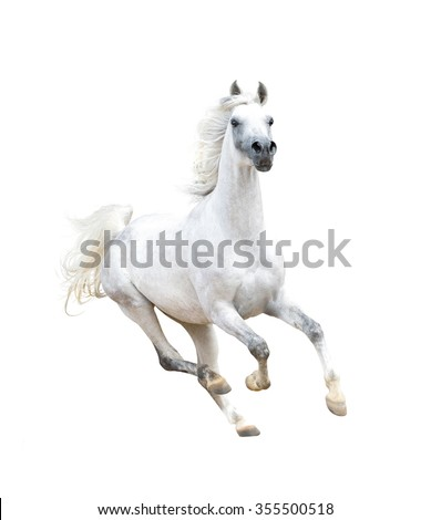 white arabian horse isolated on white - stock photo
