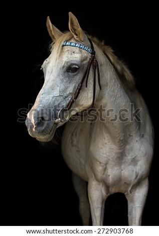 White Arabian horse on black background. - stock photo