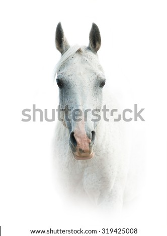 White arabian horse portrait over a white background in front view - stock photo
