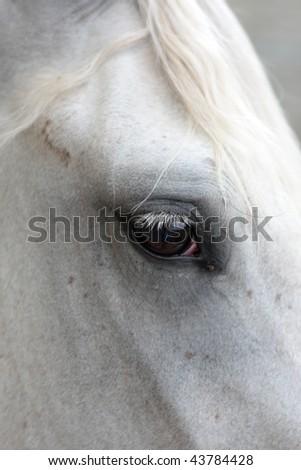 white arabian horses eye profiled - stock photo