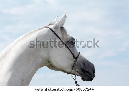 White arabian mare - stock photo