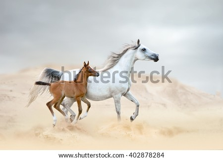 white arabian mare with chestnut foal in desert - stock photo