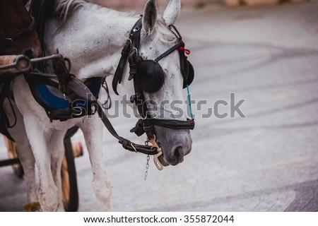 White Arabic horse in Turkey used in Princess Island in Istanbul,Turkey - stock photo